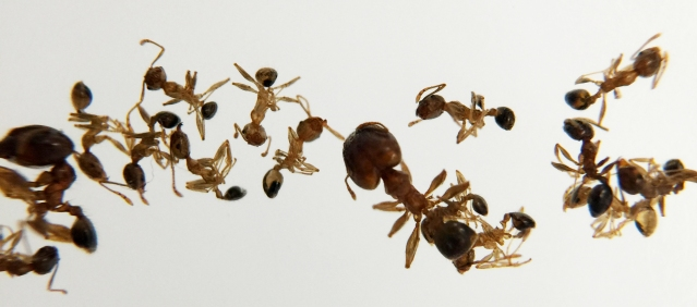 The African big-headed ant