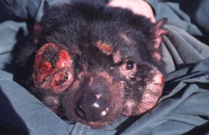 Tasmanian Devil. Photo: Menna Jones.