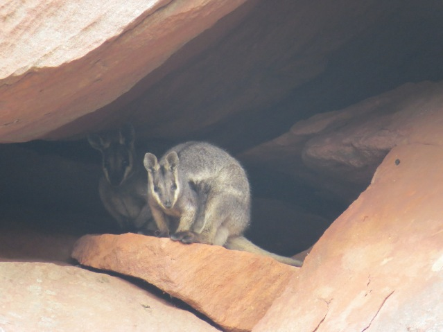 kalbarrirockwallabies_photo-credit-to-remi-vignals