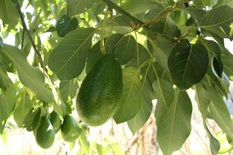 avocado-1396986_1920
